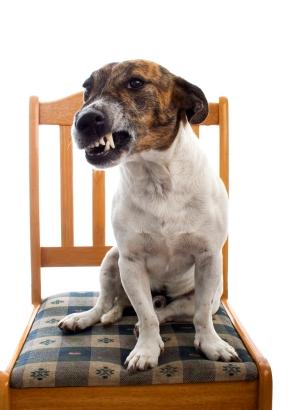 perro dominante agresivo