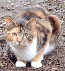 gato tortoiseshell