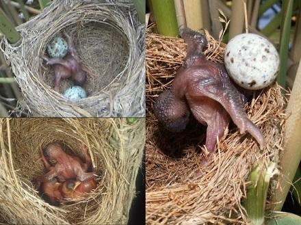 cria cuco nido