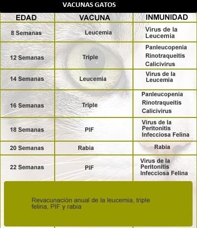 calendario vacunas gatos