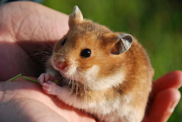 esperanza vida hamsters